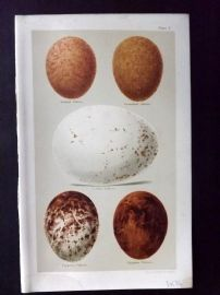 Seebohm 1896 Antique Bird Egg Print. Falcons & Vultures 01